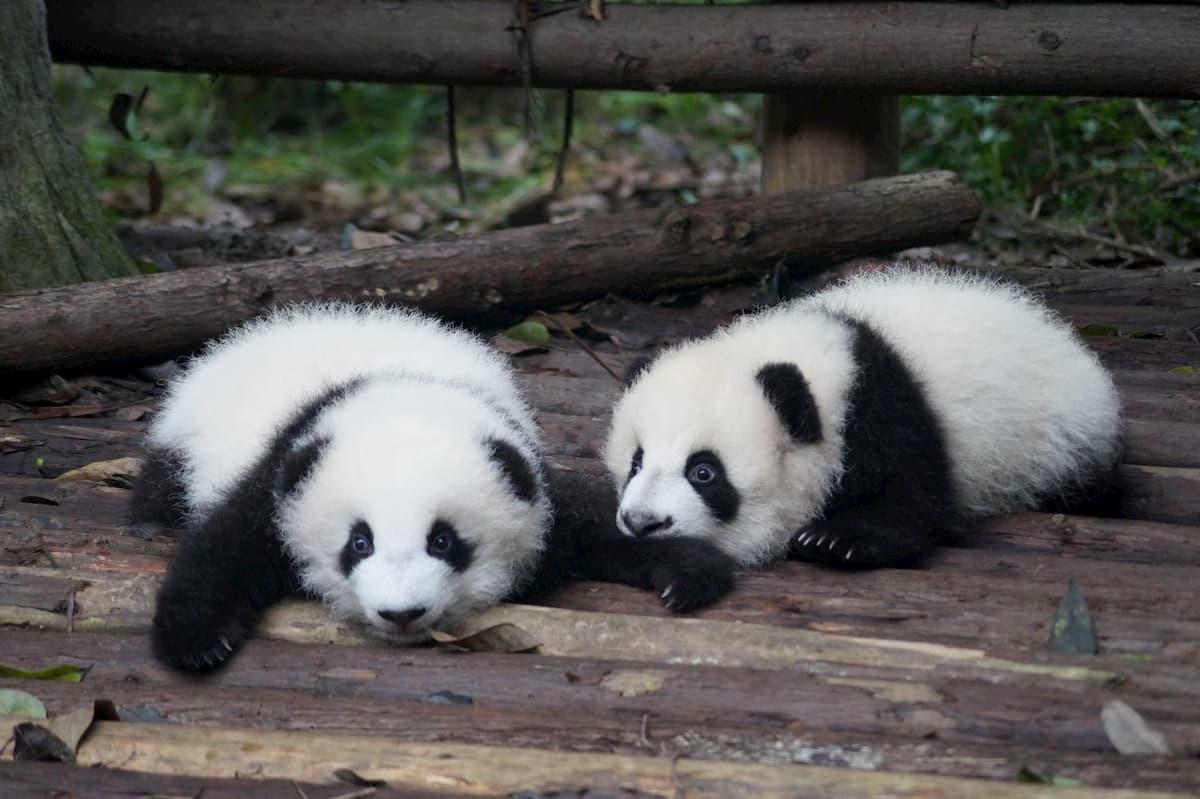 pandas bebés deitados no bambo